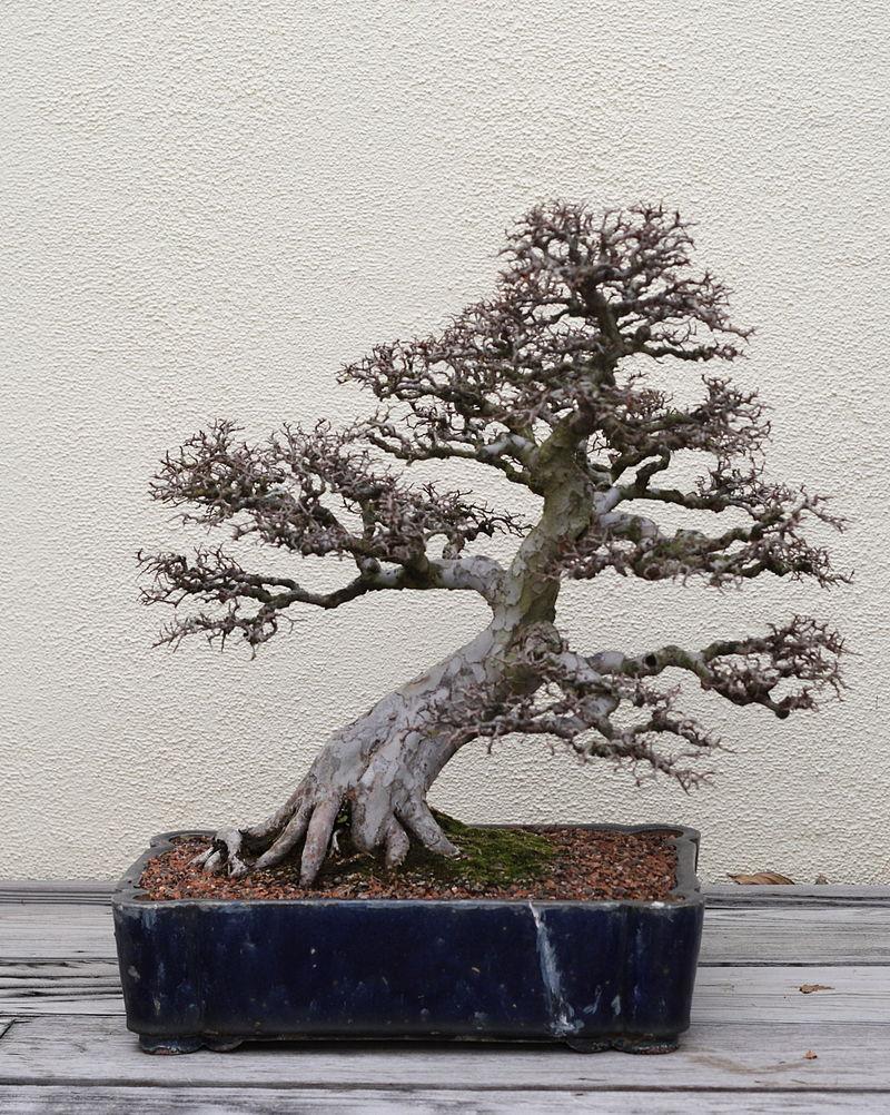 jilm bonsai